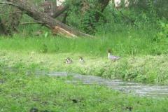 2013.05.26 Tracz nurogęś z młodymi na Małej w Parku Zdrojowym