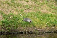 2013.07 Żółwie czerwonolice w oczku wodnym na Grapie