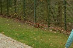 2013.11.01 Wiewiórka w Parku Zdrojowym