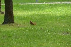 2014.07.05 Wiewiórki w Parku Zdrojowym