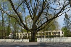 2015.04.25 Dąb - pomnik przyrody przy ul. Sobieskiego