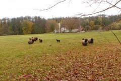 2016.11.01 Owce wrzosówki na terenie dworu w Oborach